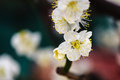 Plum blossom blooms in a green house of beijing on cold winter Royalty Free Stock Photography