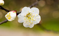 Plum blossom chinese flower during lunar new year Stock Photography