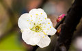 Plum blossom chinese flower during lunar new year Stock Photos
