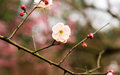 Plum blossom chinese flower during lunar new year Royalty Free Stock Image