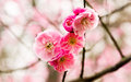Plum blossom chinese flower during lunar new year Stock Images