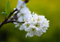 Plum blossom growth in khun sathan national park nan thailand Royalty Free Stock Image
