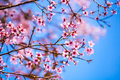 Plum blossom in northern of thailand Stock Photo