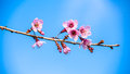 Plum blossom in northern of thailand Stock Photos