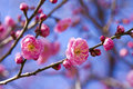 Plum blossom pink flower Royalty Free Stock Photos