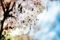 Plum blossom white in spring close up shot Royalty Free Stock Images