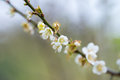 Plum blossom white on the trees Royalty Free Stock Image