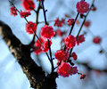 Plum is blossoming -1 Royalty Free Stock Images