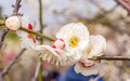 Plum blossoming in spring Stock Photo