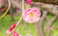 Plum blossoming in spring Stock Photos