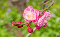 Plum blossoming in spring Royalty Free Stock Photo
