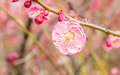 Plum blossoming in spring Royalty Free Stock Image