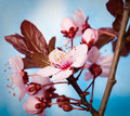 Plum blossoms Royalty Free Stock Photos