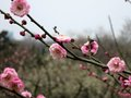 Plum blossoms on a branch string of pearched Royalty Free Stock Photography