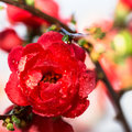 Plum blossoms with water droplets Royalty Free Stock Photography