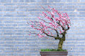 Plum bonsai Royalty Free Stock Photo