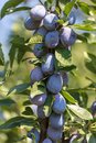 Plum on the branches of a tree Royalty Free Stock Photo