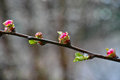 Plum buds on twig a of a tree puts forth early spring expression Royalty Free Stock Images