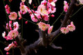 Plum flower is a deciduous tree prunus rosaceae sometimes also referred to as its fruit or flowers scientific name prunus mume Stock Photography