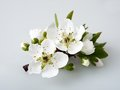 Plum flowering Stock Images