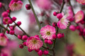 Plum flowers bloom in the cold winter add vivid colors in the cold winter Royalty Free Stock Images