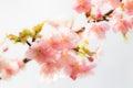 Plum Flowers in Full Bloom