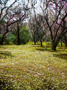 Plum forest Stock Photography