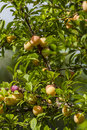 Plum fresh fruits on tree in jijel algeria Stock Photo