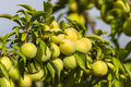 Plum fresh fruits on tree in jijel algeria Royalty Free Stock Photo