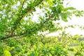 Plum fruit on the tree, spring season beginning of summer in the garden Royalty Free Stock Photo