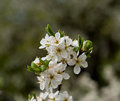 Plum inflorescence big of a tree of on an indistinct background spring day Stock Images