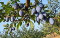 Plum orchard small in eastern europe Royalty Free Stock Image