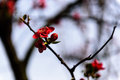 Plum spent spring photographed in mianyang xishan park Royalty Free Stock Image