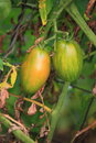 Plum tomatoes two growing on vines Stock Image