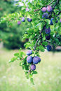 Plum tree branch with blue plums Royalty Free Stock Photo