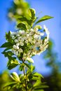 Plum tree branch filled with white flowers and beautiful blue sky background Royalty Free Stock Photo