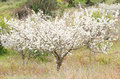 Plum tree. Royalty Free Stock Photo
