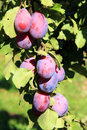 Plum tree in orchard Royalty Free Stock Photo