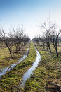 Plum tree orchard in winter with muddy way trough it Royalty Free Stock Photo