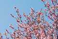 Plum tree pink flowers blossom Photographie stock libre de droits