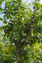 Plum tree Royalty Free Stock Photo