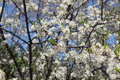 Plum tree in Springtime Blossom with White Flowers Royalty Free Stock Photo
