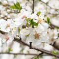 Plum-tree white flowers. Stock Photo