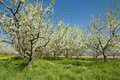 Plum trees Stock Images