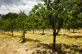 Plum trees orchard summer landscape with an unripe in the countryside Stock Images