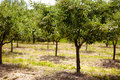 Plum trees orchard summer landscape with an unripe in the countryside Stock Image