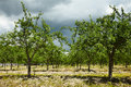 Plum trees orchard summer landscape with an unripe in the countryside Royalty Free Stock Photo