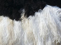 Plumage detail of male ostrich close up a feather dress Stock Images