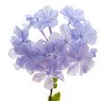 Plumbago auriculata Royalty Free Stock Photo