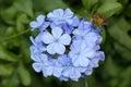 Plumbago auriculata, Blue Plumbago, Cape leadwort Royalty Free Stock Photo